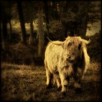 Highland Cow - by Gilles Peroud - Limited Edition Canvas at 20x20